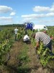 Chenin Blanc Harvest