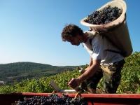 vigne et vendange 013-1