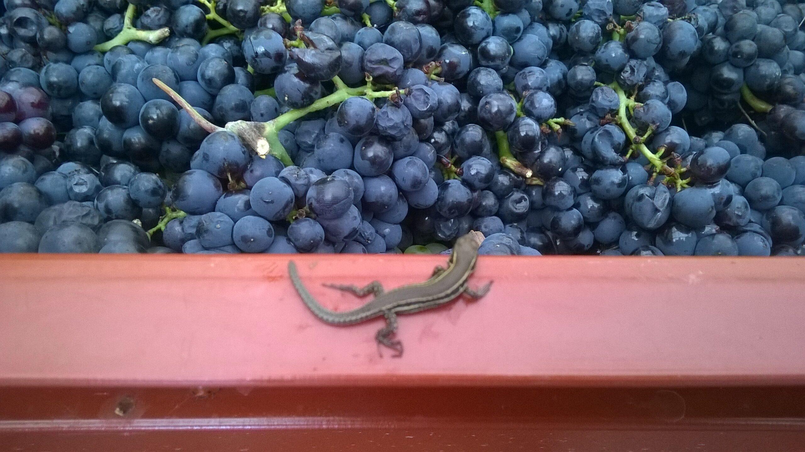 charlot Lezard-visitant-le-raisin-scaled