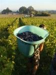 Harvesting Cabernet Franc