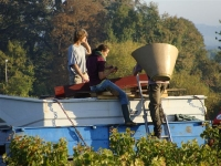 Cabernet Franc Harvest