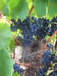 vigne et vendange 003-1