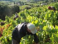 vigne et vendange 009-1
